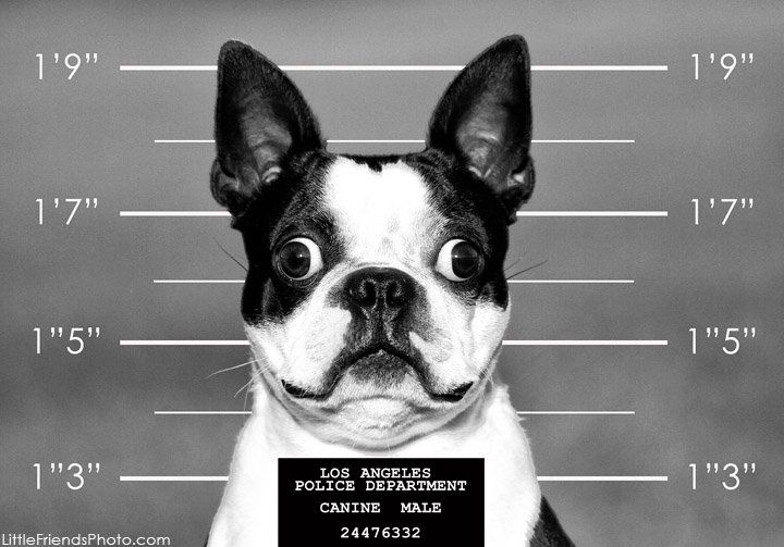 Boston Terrier Dog at the Los Angeles Police Department. Little Friends Photo by Seth Casteel award-winning professional photographer.  *Featured on www.bterrier.com