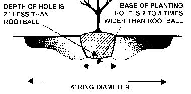 How To Correctly Transplant a Tree Seedling: Planting Tree With Root Ball