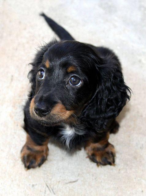 Mini Longhair Dachshund Puppy by Bill Kuffrey, via Flickr