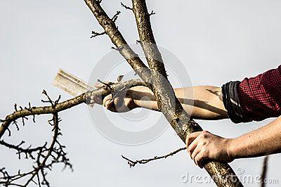 Lumberjack cutting down the tree whit an ax