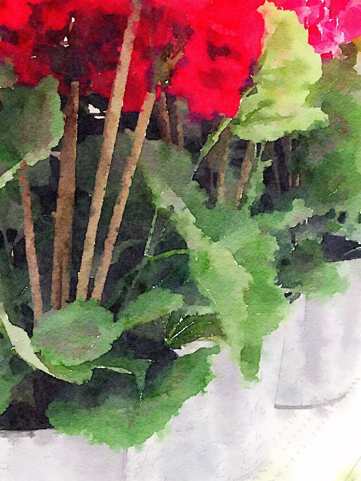 GERANIUMS by CRussellPhotography on Etsy