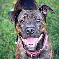 Pine Bush, New York - Rottweiler. Meet Brando, a for adoption. https://www.adoptapet.com/pet/20045406-pine-bush-new-york-rottweiler-mix