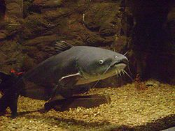 Blue catfish - Wikipedia, the free encyclopedia