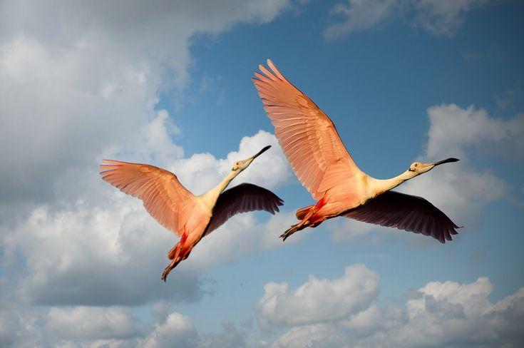 Animaux, Oiseaux, Couple, Flamants, Mexique, Ailes