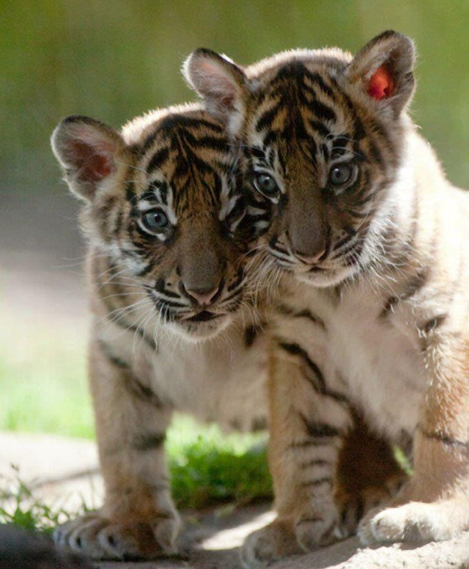 * * CUB ON LEFT: Alrights, we escaped. Which way be de jungle?                                                                                                                                                                                 More