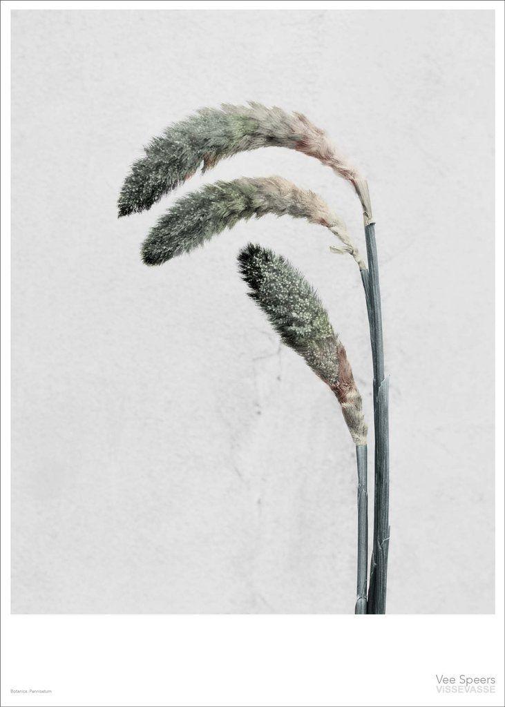 Vee Speers BOTANICA Pennisetum