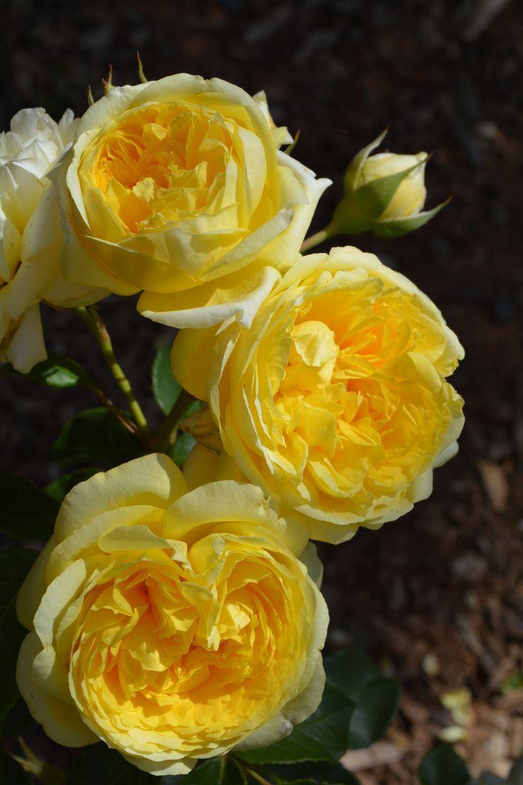 'Happy Child'   Shrub. English Rose Collection. Heirloom Roses, Inc. (USA)   Flickr - © Ingrid Van Streepen