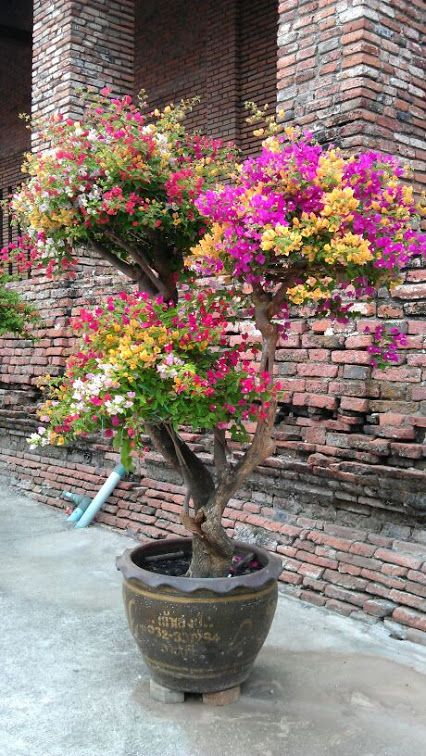 Bougainvillea bonsai with white, gold, pin, red and purple colors in Thailand