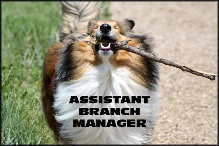 What My Boss E Mailed Me To Re Enforce My Job Title Sheltie Sheltie Dogs Dogs