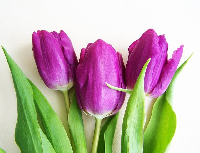 Paarse Tulpen, Spring Flower, Plant