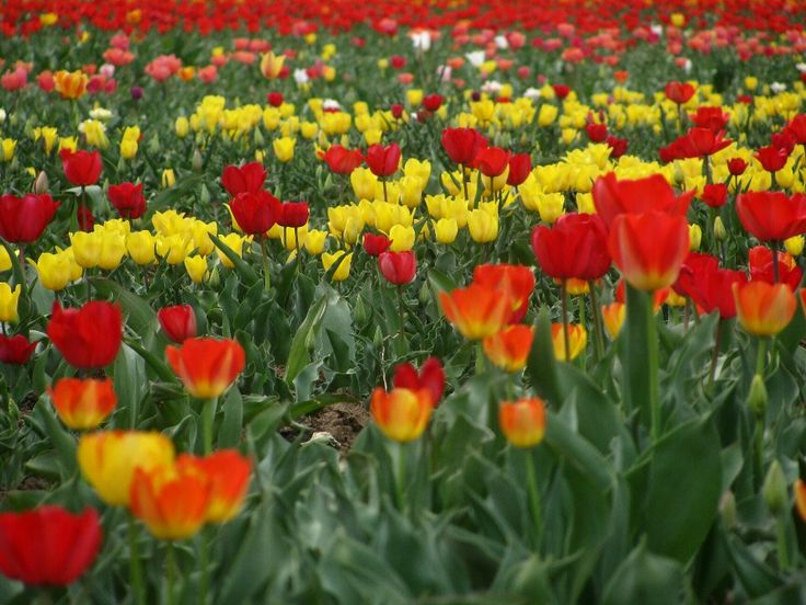 The #mesmerizing #view of #Asia's largest #Tulip #garden in #Srinagar #Kashmir