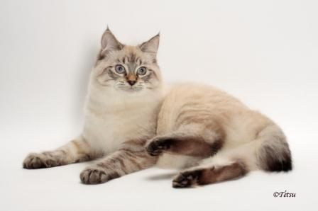 A guide to the American Bobtail cat with facts about its identifying characteristics, temperament, its preferred home, grooming tips, ideal diet and care.