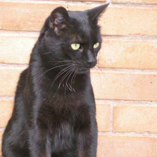Blackfrost Tom Black Cat Breeds Cats Black Cat Pictures