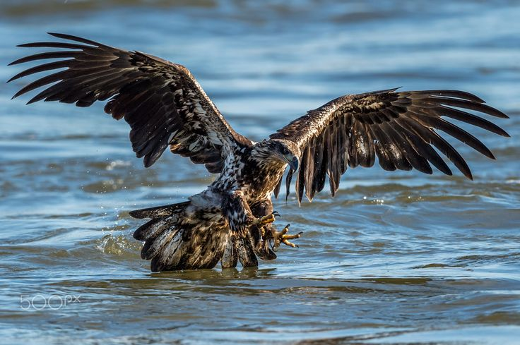 Juvenile Approach - A juvenile bald eagle makes her approach to pick up her prey lying just beneath the surface of the Susquehanna river.