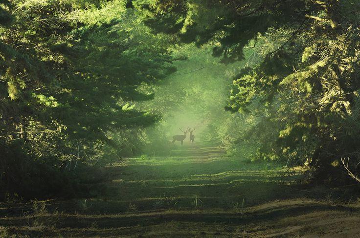 faerieforests:  Wild deer bymatt dinning