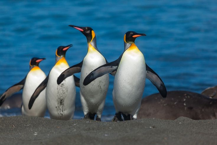 A group of King penguins make their way up on to the relative shelter of a beach on South Georgia Island.
