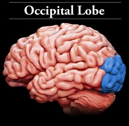 Occipital Lobes: Located at the lower back of the head, the occipital lobes: receive and process visual information; and contain areas that help in perceiving shapes and colors. Damage to the occipital lobes can cause: visual field defects; and distorted perceptions of size, color, & shape.