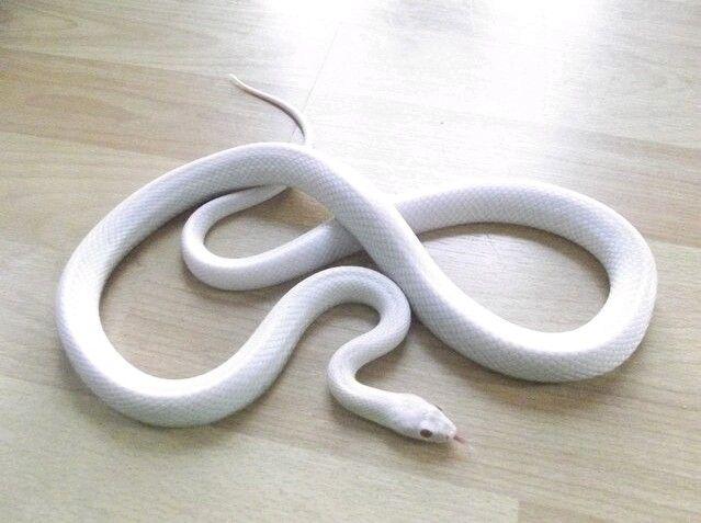 Blizzard corn snake.