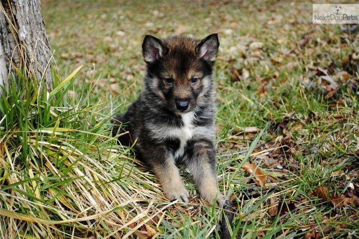 Wolf Hybrid puppy! I want one so bad!!!