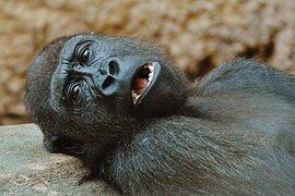 Monkey, Gorilla, Zoo, Animal