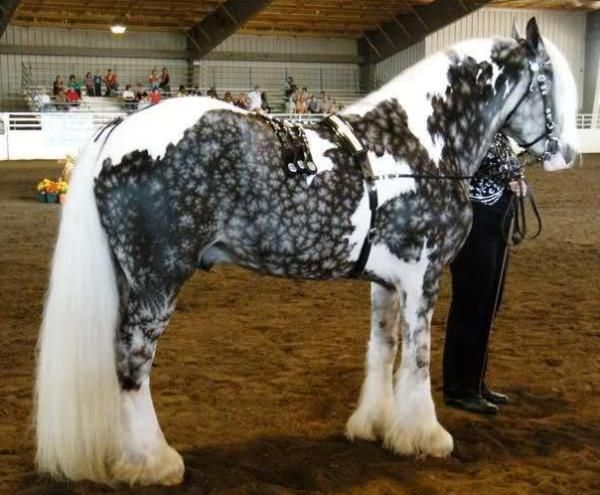 Tobiano Snow Flake Dapple Silver Gypsy Vanner Horse... that coloring is extraordinary!