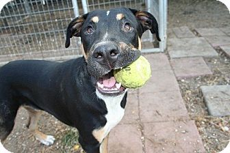 San Antonio, TX - Rottweiler/American Pit Bull Terrier Mix. Meet Troy, a dog for adoption. http://www.adoptapet.com/pet/11784344-san-antonio-texas-rottweiler-mix