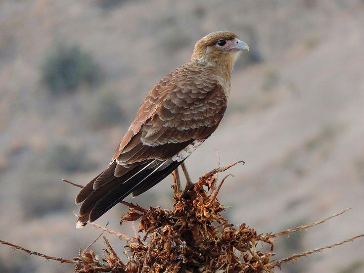 Resultado de imagen para Aves Rapaces