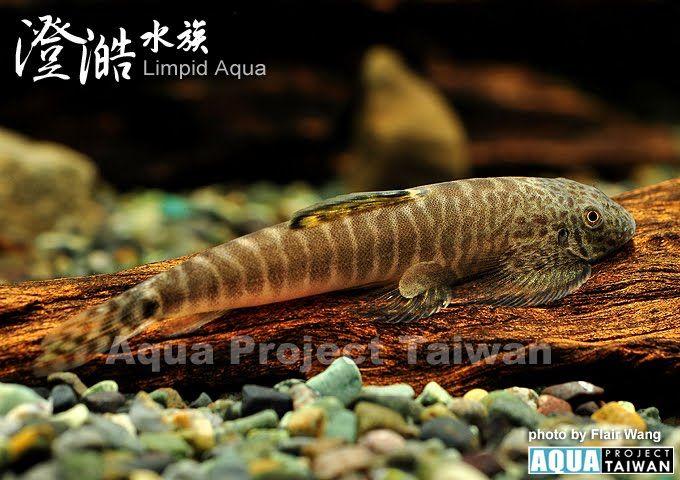 Pseudogastromyzon Fangi ปลา