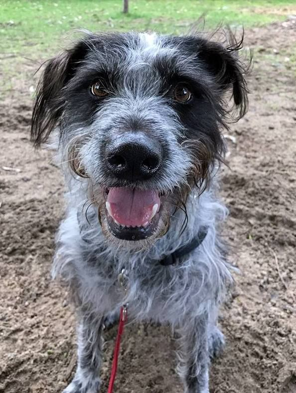 Baxter previously Eric ~ 2.7 year old male Staghound X ~ adopted Dec 2016 & returned July 2017 ~