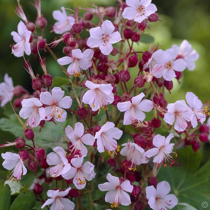 Geranium macrorrhizum Spessart (Ooievaarsbek) - 1 plant kopen veilig online bestellen