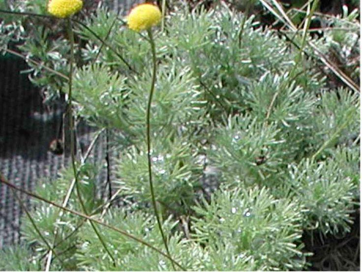 Cotula sozialis   fogliame grigio-argenteo CO90280 sempreverde fresco e leggero Sole - Mezzombra crema Asteraceae Maggio - Luglio 5 cm - 7 cm adatto a un giardino roccioso Cymbalaria, Epimedium, Felci, Hosta, Primula 9 piantine al m2