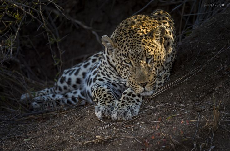 Leopard - Eye to Lens - copyrighted - bruna@thrumyafricanlens.co.za