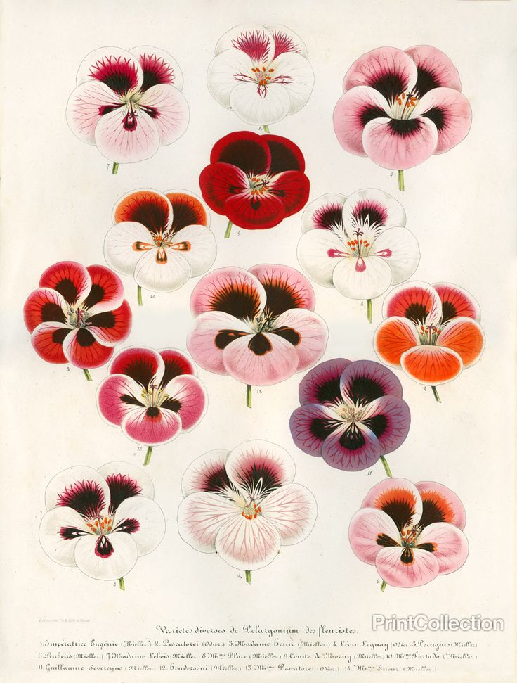 Pelargonium, created by A. Verschaffelt publ (published by Ambroise Verschaffelt)