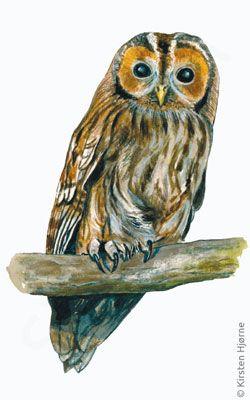 Natugle - Tawny Owl - Strix aluco