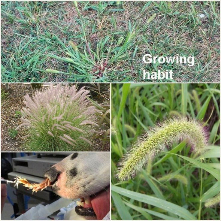 GUARD YOUR PET FROM FOXTAIL GRASS