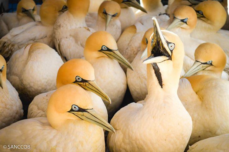 Cape gannets, Kiani Satu Oil Spill, August 2013
