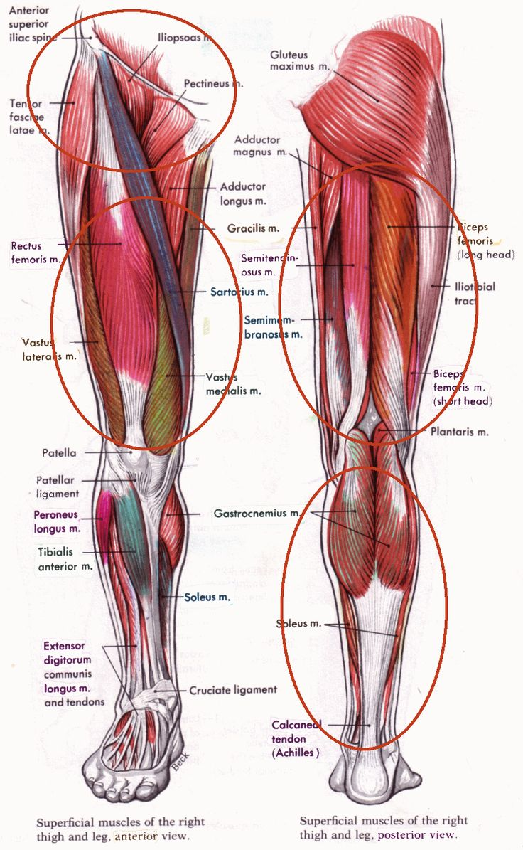 The hip flexor group flexes the hip and drives the knee forward. The quadriceps, hamstrings and adductors are the main muscles that they stabilize the knee, ...