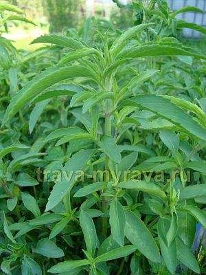 Монарда - многолетнее травянистое растение из семейства яснотковых. Существует более ста разновидностей монарды, но в огородах чаще всего выращивают монарду лимонную, более известную как трава бергамот.