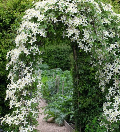 Clematis 'Wilsonii' montana variety - fragrant.  Flowers late spring early summer.