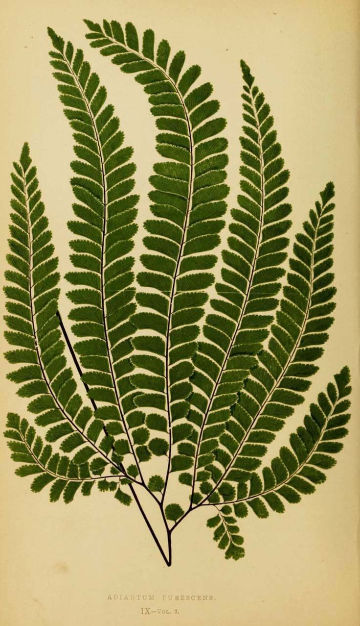 Edward Joseph Lowe, Ferns: British and exotic, 1856-60. London. Complete book: BioDivLib. Or via flickr