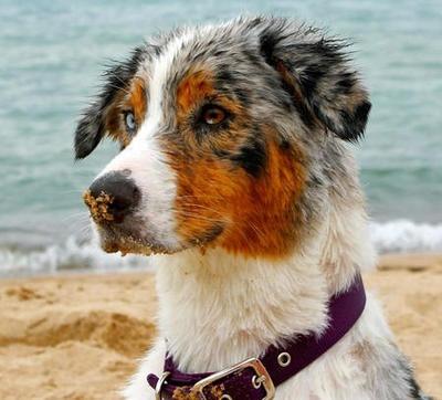 ... - Cattle Dog Mix Blue Merle Australian Shepherd Puppies For Sale