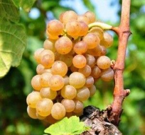 Muscat Wine Grapes, Flavor, Character, History, Wine Food Pairings