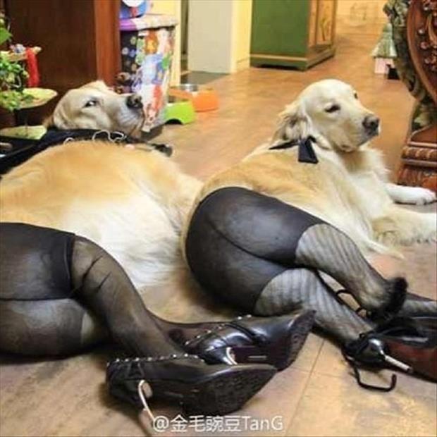 dogs wearing pantyhose meme (12)