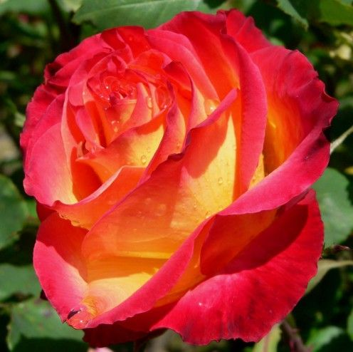 The Health Benefits Of Rose, Rose Water, Rose Oil, Rose Hip Seed Oil And Rose Tea