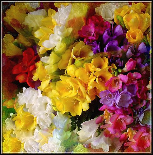 Fresias...love the colours...love the smell. Had a bouquet of lilac and white fresias for my wedding!