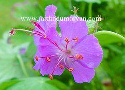 GERANIUM X CANTABRIGIENSE une plante vivace du Jardin du morvan, la pépinière de Thierry DENIS
