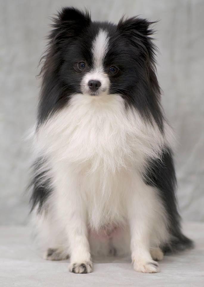 Black Parti Color Pomeranian.