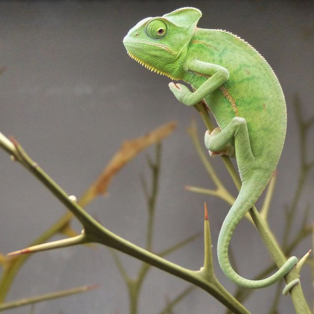 216 Best Images About Chameleons On Pinterest