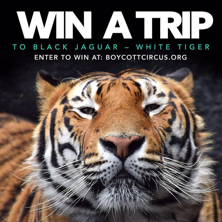 WIN A TRIP TO BJWT. Donate by getting your ticket to the @blackjaguarwhitetiger Foundation and enter a raffle to win a trip to BJWT.  Winner will receive ONE paid trip to The Black Jaguar-White Tiger Foundation hosted by Jamie @boycottcircus. Winner announced on Facebook Live Sunday, July 30, 2017. Winner can be from anywhere in the world, 18 years or older. Flight, hotel, dinners, Starbucks, transportation and two days at Stage 1 and 2/2B included. Also, you can invite one guest (At your…