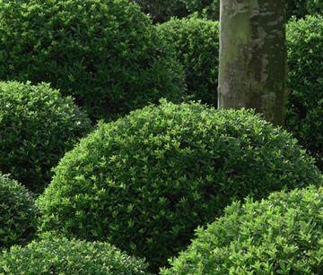 Een alternatief voor de buxus: Ilex crenata. Een waardige plant, een bijna look-a-like voor buxus is de Japanse hulst of Ilex crenata.